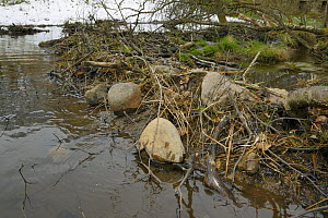Dam built with tree branches, twigs and large boulders by Eurasian beavers (Castor fiber) across a stream in the grounds of Bamff estate, Alyth, Perthshire, Tayside, Scotland, UK, April.  -  Nick Upton
