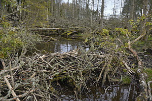 Woodland stream dammed with tree branches cut and stripped of bark by Eurasian beavers (Castor fiber) in the grounds of Bamff estate, Alyth, Perthshire, Tayside, Scotland, UK, April.  -  Nick Upton