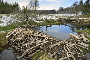 Stream dammed with tree branches cut and stripped of bark by Eurasian beavers (Castor fiber) in the grounds of Bamff estate, with arable farmland in the background, Alyth, Perthshire, Tayside, Scotlan... - Nick Upton