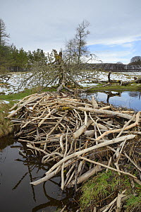 Stream dammed with tree branches cut and stripped of bark by Eurasian beavers (Castor fiber) in the grounds of Bamff estate, Alyth, Perthshire, Tayside, Scotland, UK, April.  -  Nick Upton