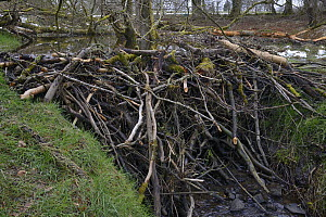 1.7m high dam built with tree branches cut and stripped of bark by Eurasian beavers (Castor fiber) across a stream in the grounds of Bamff estate, Alyth, Perthshire, Tayside, Scotland, UK, April.  -  Nick Upton