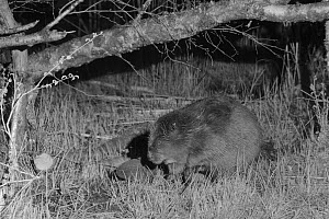 Eurasian beaver (Castor fiber) at a feeding station on a lake shore at night, Scottish Beaver Trial population, Knapdale, Scotland, UK, May. Taken by infrared light with a remote camera trap.  -  Nick Upton