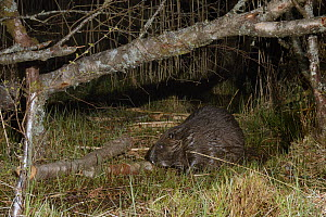 Eurasian beaver (Castor fiber) gnawing bark from a birch branch it has cut at a feeding station on a lake shore at night, Scottish Beaver Trial population, Knapdale, Scotland, UK, May. Taken with a re...  -  Nick Upton