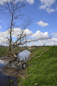 Willow tree (Salix sp.) gnawed by Eurasian beavers (Castor fiber) with a large branch lying across and partially blocking a stream in lowland farmland, Dean Water, near Forfar, Angus, Tayside, Scotlan... - Nick Upton