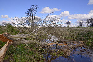 Willow tree (Salix sp.) felled by Eurasian beavers (Castor fiber) with its bark partially gnawed off by them, lying across a drainage ditch in lowland farmland, Haughs of Cossans, near Forfar, Angus,...  -  Nick Upton