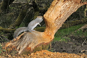 Grey squirrel (Sciurus carolinensis) standing on Willow tree (Salix sp) heavily gnawed by Eurasian beavers (Castor fiber) in a large woodland enclosure at night, Devon Beaver Project, run by Devon Wil...  -  Nick Upton