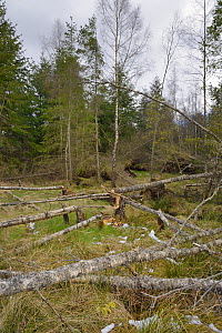 Several young Birch trees (Betula sp.) felled by Eurasian beavers (Castor fiber)  creating a clearing in mixed woodland, Bamff Estate, Alyth, Tayside, Perthshire, Scotland, UK, April.  -  Nick Upton