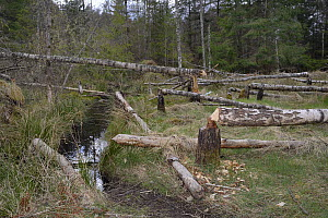 Several young Birch trees (Betula sp.) felled by Eurasian beavers (Castor fiber) close to a drainage channel used for access, creating a clearing in mixed woodland, Bamff Estate, Alyth, Tayside, Perth...  -  Nick Upton
