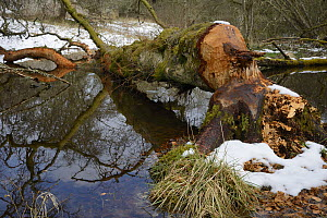 Downy birch tree (Betula pubescens) felled and partially stripped of its bark by Eurasian beavers (Castor fiber) lying across a stream in the grounds of Bamff estate, Alyth, Perthshire, Tayside, Scotl...  -  Nick Upton