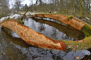 Downy birch tree (Betula pubescens) felled by Eurasian beavers (Castor fiber) with some of its bark gnawed off by them, lying across a stream in the grounds of Bamff estate, Alyth, Perthshire, Tayside...  -  Nick Upton
