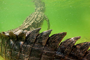American crocodile (Crocodylus acutus) close up tail, rear view of animal resting in shallow water with head at surface, Banco Chinchorro Biosphere Reserve, Caribbean region, Mexico - Claudio  Contreras