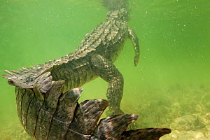 American crocodile (Crocodylus acutus) rear view of animal resting in shallow water with head at surface, Banco Chinchorro Biosphere Reserve, Caribbean region, Mexico - Claudio  Contreras
