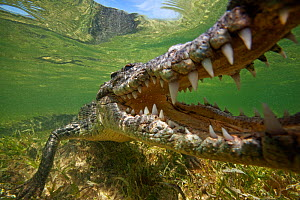American crocodile (Crocodylus acutus) extreme close up with jaws open, Banco Chinchorro Biosphere Reserve, Caribbean region, Mexico - Claudio  Contreras