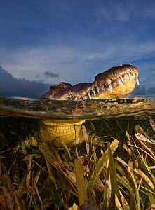 American crocodile (Crocodylus acutus) split level with animal resting at surface in shallow water over seagrass bed, Banco Chinchorro Biosphere Reserve, Caribbean region, Mexico  -  Claudio  Contreras
