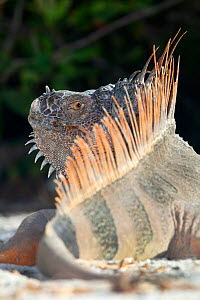 Green iguana (Iguana iguana) rear view of basking in sun, Banco Chinchorro Biosphere Reserve, Caribbean region, Mexico, May.  -  Claudio  Contreras
