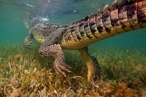 American crocodile (Crocodylus acutus) rear view of animal swimming away over seagrass bed, Banco Chinchorro Biosphere Reserve, Caribbean region, Mexico - Claudio  Contreras