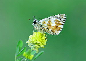 Oberthur's grizzled skipper (Pygrus armoricanus) Riou de Meaulx, Provence, southern France, May.  -  Robert  Thompson