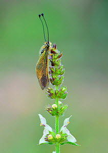 Owlfly (Libelloides icericus) near  Bargemon, Provence, southern France, May.  -  Robert  Thompson