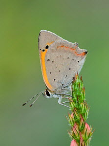 Small copper butterfly (Lycaeba phlaeas) Riou de Meaulx, Provence, southern France, May.  -  Robert  Thompson