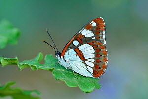 Southern white admiral butterfly (Limenitis reducta) North of Lorgues, Provence, southern France  -  Robert  Thompson