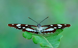 Southern white admiral (Limenitis reducta) North of Lorgues, Provence, southern France, May.  -  Robert  Thompson
