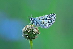 Yellow banded skipper butterfly (Pyrgus sidae) Riou de Meaulx, Provence, southern France, May.  -  Robert  Thompson