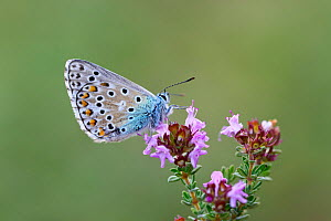 Adonis blue butterfly (Lysandra bellargus) Bargemon, Provence, France, May. - Robert  Thompson