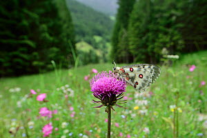 Apollo butterfly (Parnassius apollo) Sottoguda-paluce, Dolomites, Italy. June.  -  Robert  Thompson
