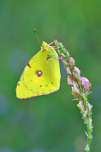 Berger's clouded yellow butterfly (Colias alfacariensis) Riou de Meaulx, Provence, southern France, May.  -  Robert  Thompson