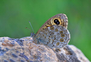 Large wall butterfly (Lasiommata maera) Riou de Meaulx, Provence, southern France, May. - Robert  Thompson
