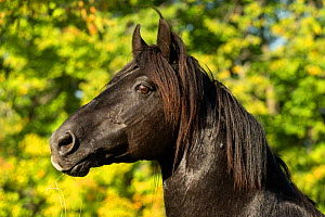 Portrait of Ferari, a Canadian Horse stallion, multi champion, Cumberland, Ontario, Canada. Critically Endangered horse breed. - Kristel  Richard