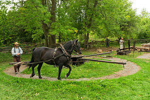A  Canadian Horse gelding activates a sawing machine to cut wood, at Upper Canada Village Museum, Morrisburg, Ontario, Canada. Critically Endangered horse breed.  -  Kristel  Richard