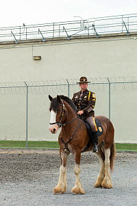 Delaware mounted police officer on his Clydesdale horse standing, during the National American Police Equestrian Competition (NAPEC), at Kingston Penitentiary, Kingston, Ontario, Canada. September 201...  -  Kristel  Richard