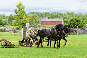 Canadian Horses gelding pulling an ancient grass cutter, at Upper Canada Village Museum, Morrisburg, Ontario, Canada. Critically Endangered horse breed.  -  Kristel  Richard