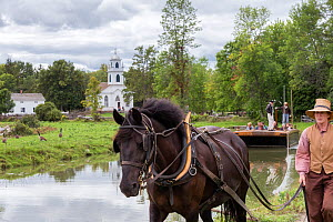 Canadian Horse gelding tows a passenger boat, at Upper Canada Village Museum, Morrisburg, Ontario, Canada. Critically Endangered horse breed.  -  Kristel  Richard