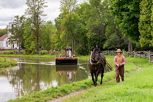 Canadian Horse gelding tows a passenger boat, at Upper Canada Village Museum, Morrisburg, Ontario, Canada. Crictically endangered horse breed.  -  Kristel  Richard