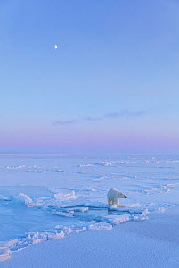 Polar Bear (Ursus maritimus) on icefield with moon in late winter,  Svalbard, Spitsbergen, Norway, April - Ingo Arndt
