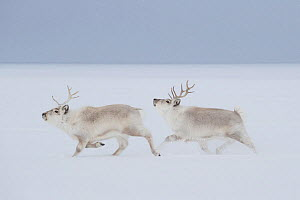 Svalbard reindeers (Rangifer tarandus platyrhynchus) running in snow, winter, Spitsbergen, Svalbard, Norway, April - Ingo Arndt