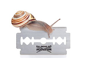 Brown-lipped snail (Cepaea nemoralis) crawling over a razor blade. The constantly produced mucus is a protection shield between the sole of the snail and the razor blade. The snail remains unharmed, G... - Ingo Arndt