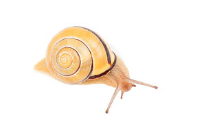 Brown-lipped snail (Cepaea nemoralis), Germany - Ingo Arndt