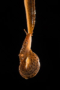 Leopard slug (Limax maximus) climbing and eating at the same time a rope of mucus after mating. These slugs are hermaphrodites and can be seen here transferring sperm to one another through their male...  -  Ingo Arndt