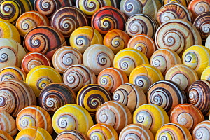 Land snail (Polymita picta) collection of  shells showing variation in patterning, Cuba. Endemic species. - Ingo Arndt