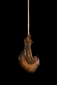 Leopard slug (Limax maximus) mating, hanging from a rope of mucus. These slugs are hermaphrodites and can be seen here transferring sperm to one another through their male organs.Switzerland. Sequence...  -  Ingo Arndt