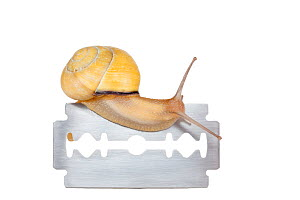 Land snail / Brown-lipped snail (Cepaea nemoralis) crawling over a razor blade. The constantly produced mucus is a protection shield between the sole of the snail and the razor blade whilst the snail... - Ingo Arndt