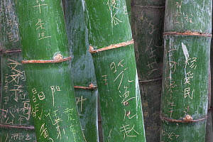Bamboo (Phyllostachys) stems with carved names, Sichuan, China  -  Ingo Arndt