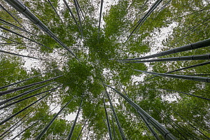 Bamboo (Phyllostachys heterocycla)  low angle view up into forest canopy,  Shunan Bamboo Sea, Shunan Zhuhai National Park, Sichuan, China, April 2015. - Ingo Arndt