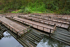 Bamboo (Phyllostachys heterocycla) rafts, Shunan Bamboo Sea, Shunan Zhuhai National Park, Sichuan, China, April 2015. - Ingo Arndt
