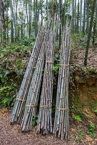 Bamboo (Phyllostachys heterocycla)  cut  stems sorted for the transport, Shunan Bamboo Sea, Shunan Zhuhai National Park, Sichuan, China, April 2015. - Ingo Arndt
