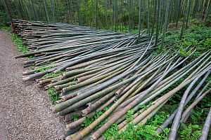 Bamboo (Phyllostachys heterocycla) cut  stems , Shunan Bamboo Sea, Shunan Zhuhai National Park, Sichuan, China, April 2015. - Ingo Arndt
