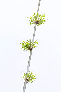 Bamboo plant on white background, China - Ingo Arndt